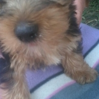 Medium Size Black & Tan Male Yorkie for Sale by Registered Breeder.