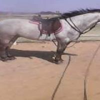 boerperd pony dapple grey