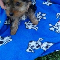Medium Size Black & Tan Female Yorkie for Sale By registered Breeder.