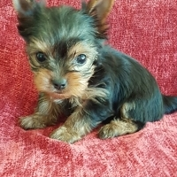 Teacup Female Yorkie