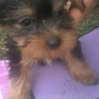Small Tea Cup Black & Tan Female Yorkie for sale by Registered Breeder.