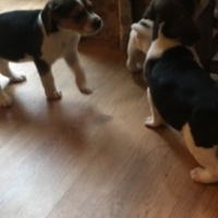 Intellegent and adorable beagle puppies for sale