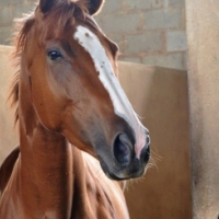 STUNNING Thoroughbred for sale