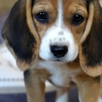 Active Male Beagle puppy for sle