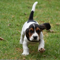 KUSA pedigree Tri-colour Basset