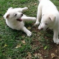 White Shepherd Puppies 8 weeks old