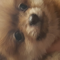 TOYPOM MALES FOR SALE