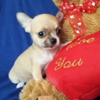 Small Registered Chihuahua male