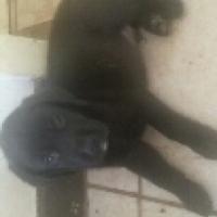 purebred labrador black male pups