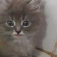Persian x kittens for sale