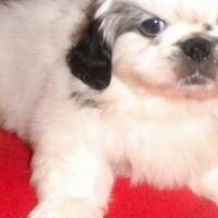 Miniature pekingese pups for sale