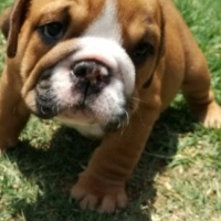 Stunning KUSA Reg English Bulldog puppies available and ready for their forever homes!