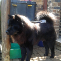 Male and Female Chow - URGENT SALE
