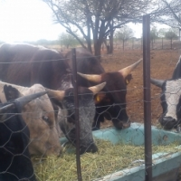 Cattle for sale for funerals, weddings and parties