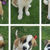 St Bernard Puppies for sale