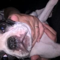 9 Weeks Old Boston Terrier Puppies For Sale