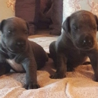 Registered Great dane puppies for sale
