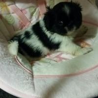 Pedigree Miniature Pekingese Puppies for sale