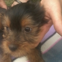 male black and tan yorkie for sale