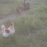 Bosvelder chickens