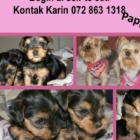 Yorkie Pups 7 weeks old for sale R2500
