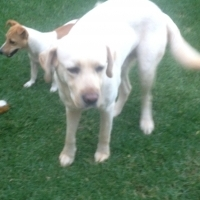 Labrador and Jack Russell for sale