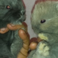 Dwarf Angora Jersey Wholley rabbit babies for sale