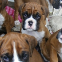 Red/Tan Boxer female puppies R3300