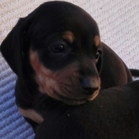 Thoroughbred Dachshunds puppies (worshondjies / worsies) for sale!