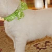 Beautiful female Golden retriever puppy for sale