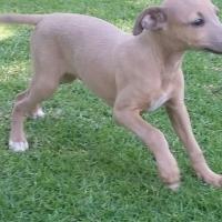 Italian Greyhounds - Tan colours!!!!!!