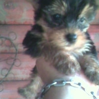 Yorkies for sale 8 weeks old they are dewormed and inoculated