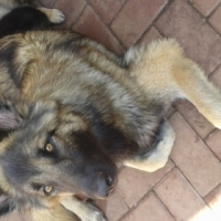 German Shepard puppies for sale!!