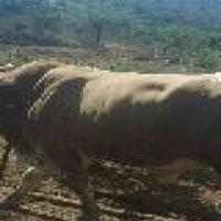 3 Angus X Nguni Breeding Bulls for sale!!!