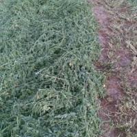 New Season Quality Lucerne Hay