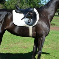 Black Thoroughbred Filly for sale