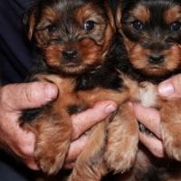 silver long legged yorkie puppies.