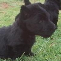 Scottish Terrier Male Puppy