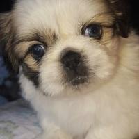 Pekingese pure bred puppies
