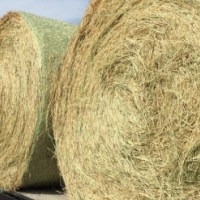 Large round plastic wrapped lucern bales.