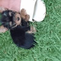 Pretty little Miniature Female Yorkie puppies