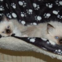 Pedigree Birman kittens