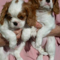 Sweet Cavalier king charles spaniel puppies for sale R 3000 each