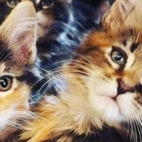 3 Quality Maine Coon Kittens Born 04/11/2015