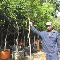 Celtis africana trees for sale