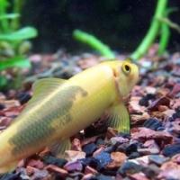 Black and Gold Algae Eater - 5cm