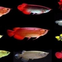 Asian red arowana fishes, chilli red arowana fishes, supe red, 24k golden arowana fish for sale