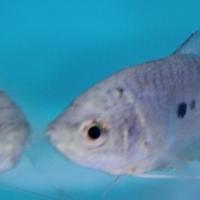 Blue Gourami - 5cm