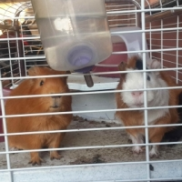 2 x 8months old guinea pigs for sale