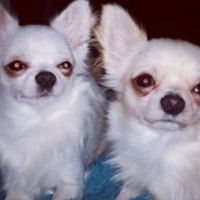 Fantastic Chihuahua Puppies